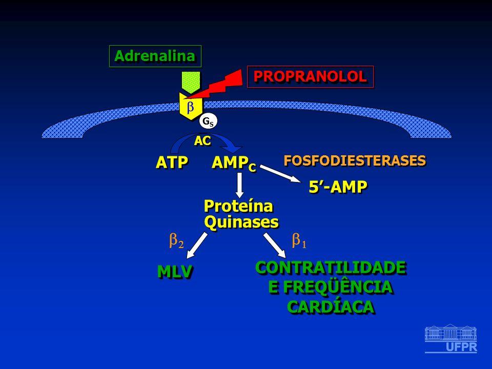 GSGS ATP AMP C AC Proteína Quinases Proteína Quinases MLVMLV 5-AMP FOSFODIESTERASES PROPRANOLOLPROPRANOLOL CONTRATILIDADE E FREQÜÊNCIA CARDÍACACONTRAT