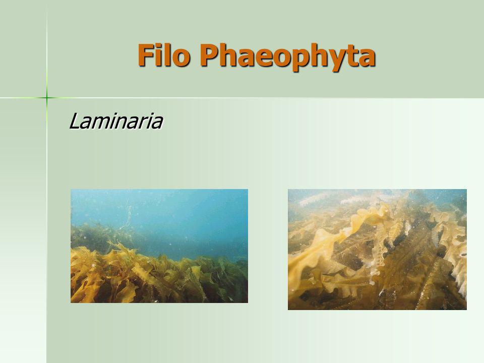 Laminaria Laminaria Filo Phaeophyta