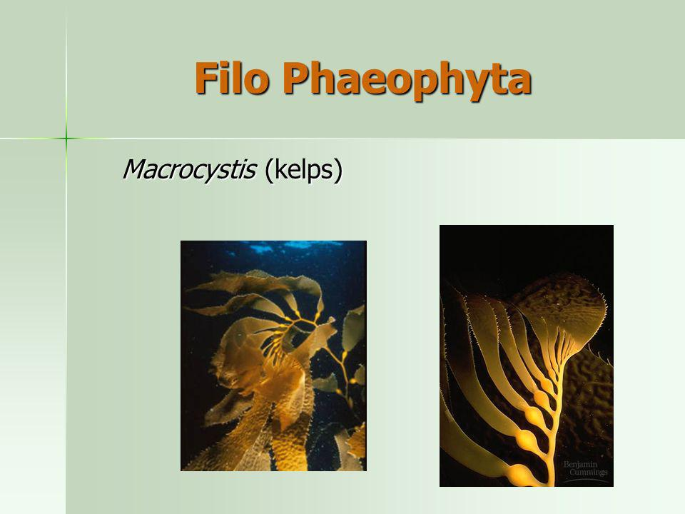 Macrocystis (kelps) Filo Phaeophyta