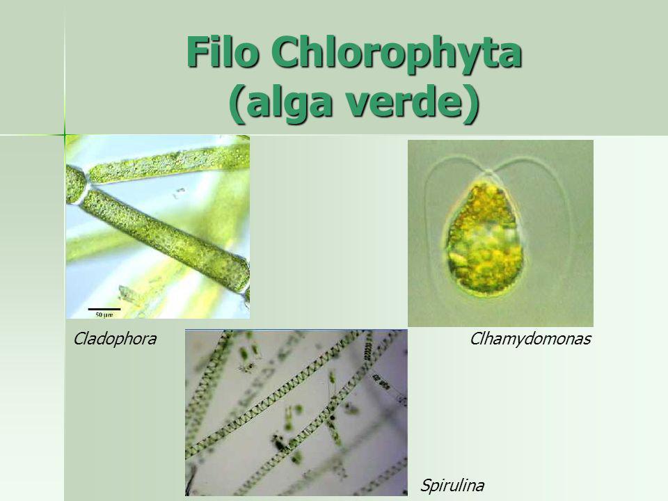 CladophoraClhamydomonas Spirulina Filo Chlorophyta (alga verde)