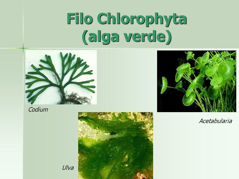 Ulva Codium Acetabularia Filo Chlorophyta (alga verde)