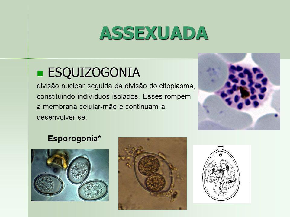 ASSEXUADA ESQUIZOGONIA ESQUIZOGONIA divisão nuclear seguida da divisão do citoplasma, constituindo indivíduos isolados. Esses rompem a membrana celula