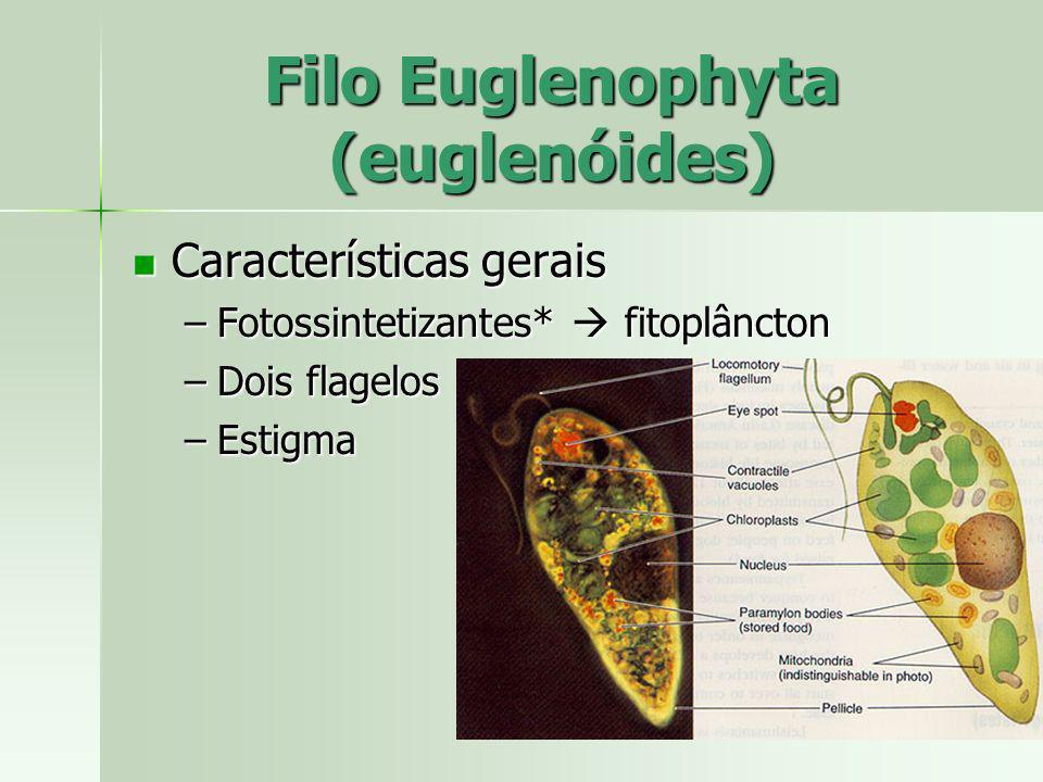 Filo Euglenophyta (euglenóides) Características gerais Características gerais –Fotossintetizantes* fitoplâncton –Dois flagelos –Estigma