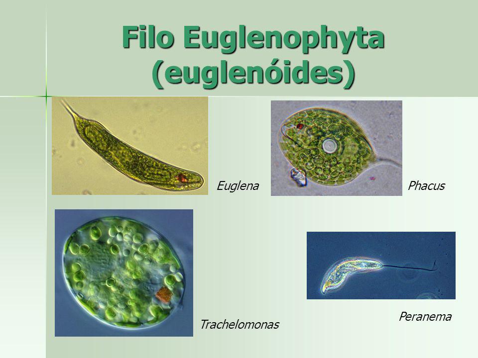 Filo Chlorophyta (alga verde) Características gerais Características gerais –Uni ou multicelulares –Habitat marinho, água doce e terrestre úmido –Parede celular basicamente de celulose –Algumas apresentam depósitos de carbonato de cálcio na parede celular calcáreas