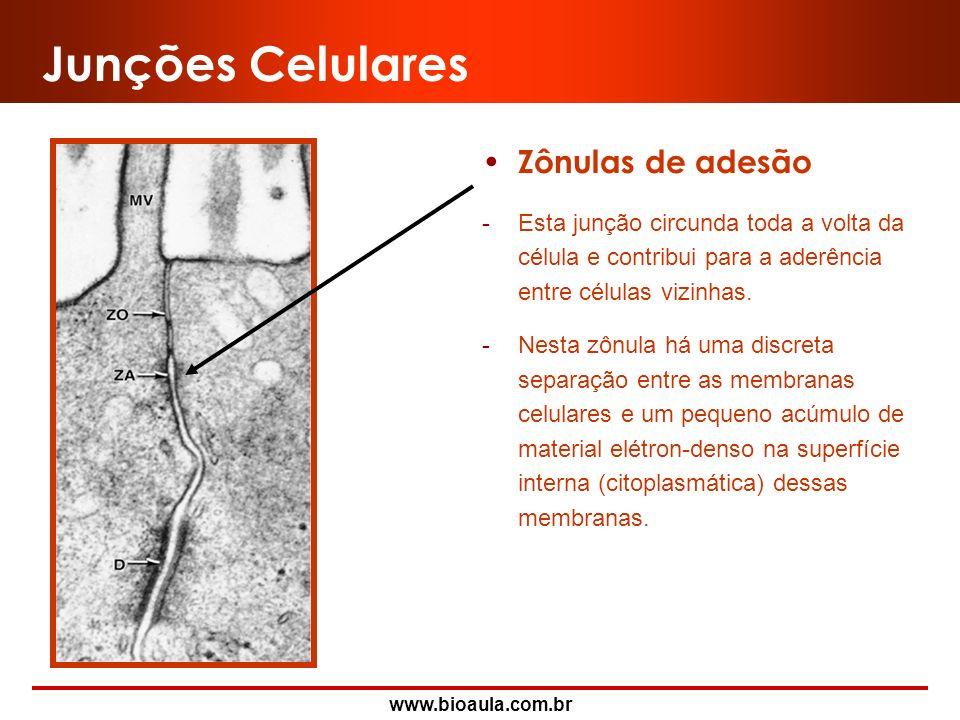 www.bioaula.com.br Junções Celulares Zônulas de oclusão -São as junções mais apicais. -São caracterizadas pela íntima justaposição das membranas celul
