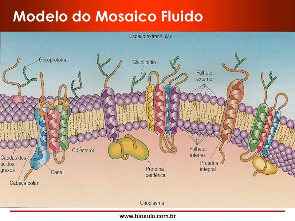 www.bioaula.com.br Estrutura de Membrana Plasmática I- Modelo do Sanduíche Dawson e Danielli (1935) II- Modelo do Mosaico Fluido Singer e Nicholson (1