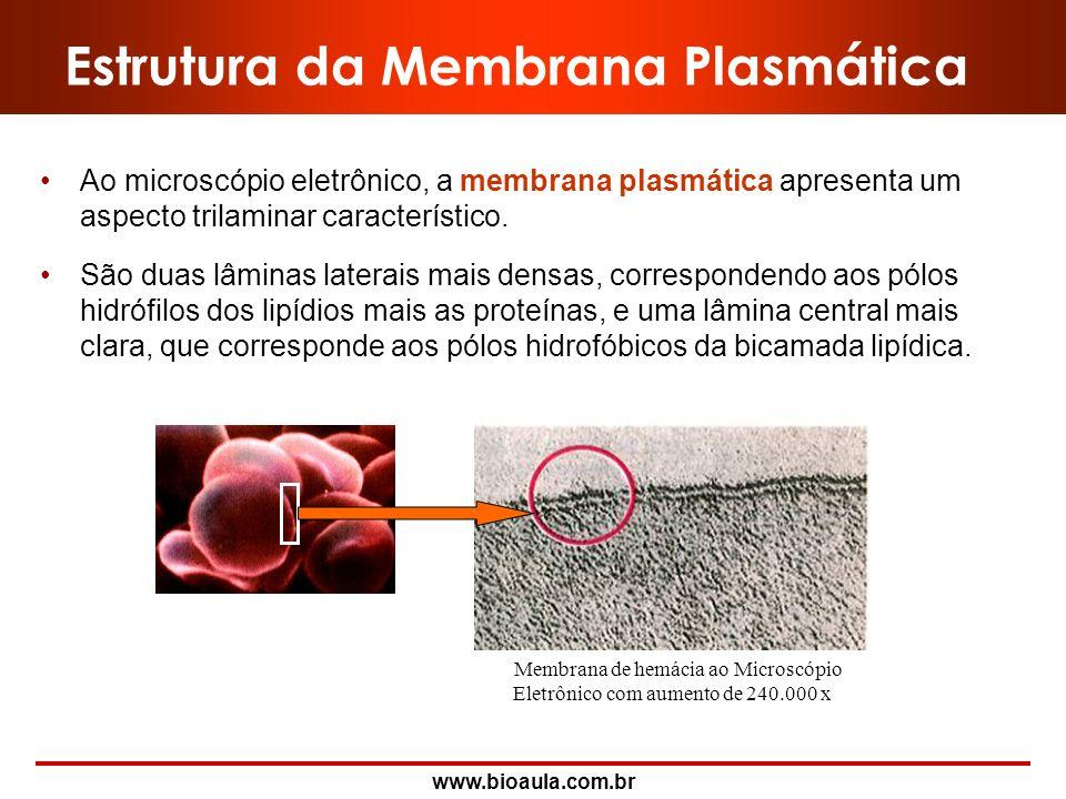 www.bioaula.com.br Modelo do Mosaico Fluido