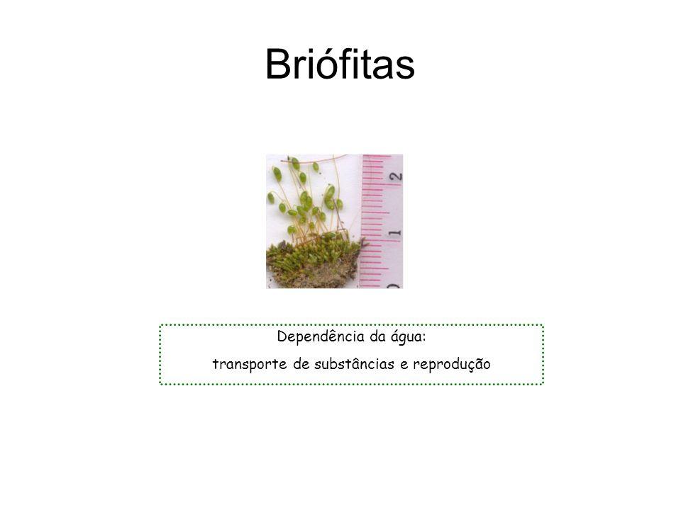 Briófitas Dependência da água: transporte de substâncias e reprodução