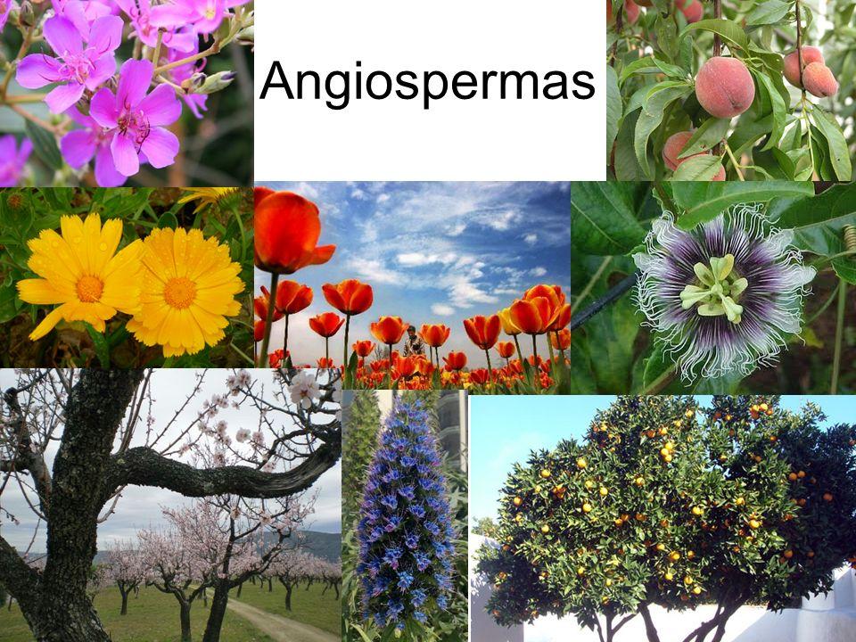 Angiospermas SUCESSO ADAPTATIVO: Grande diversidade de hábitats ocupados!!!