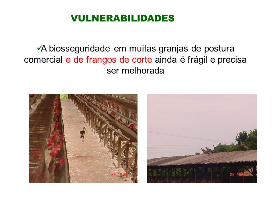 VULNERABILIDADES A biosseguridade em muitas granjas de postura comercial e de frangos de corte ainda é frágil e precisa ser melhorada