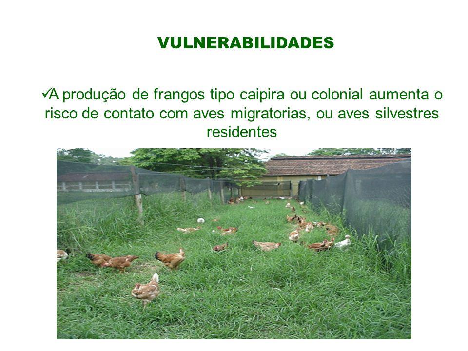 VULNERABILIDADES A produção de frangos tipo caipira ou colonial aumenta o risco de contato com aves migratorias, ou aves silvestres residentes