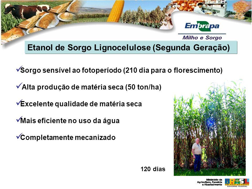 Etanol de Sorgo Lignocelulose (Segunda Geração) Sorgo sensível ao fotoperíodo (210 dia para o florescimento) Alta produção de matéria seca (50 ton/ha)