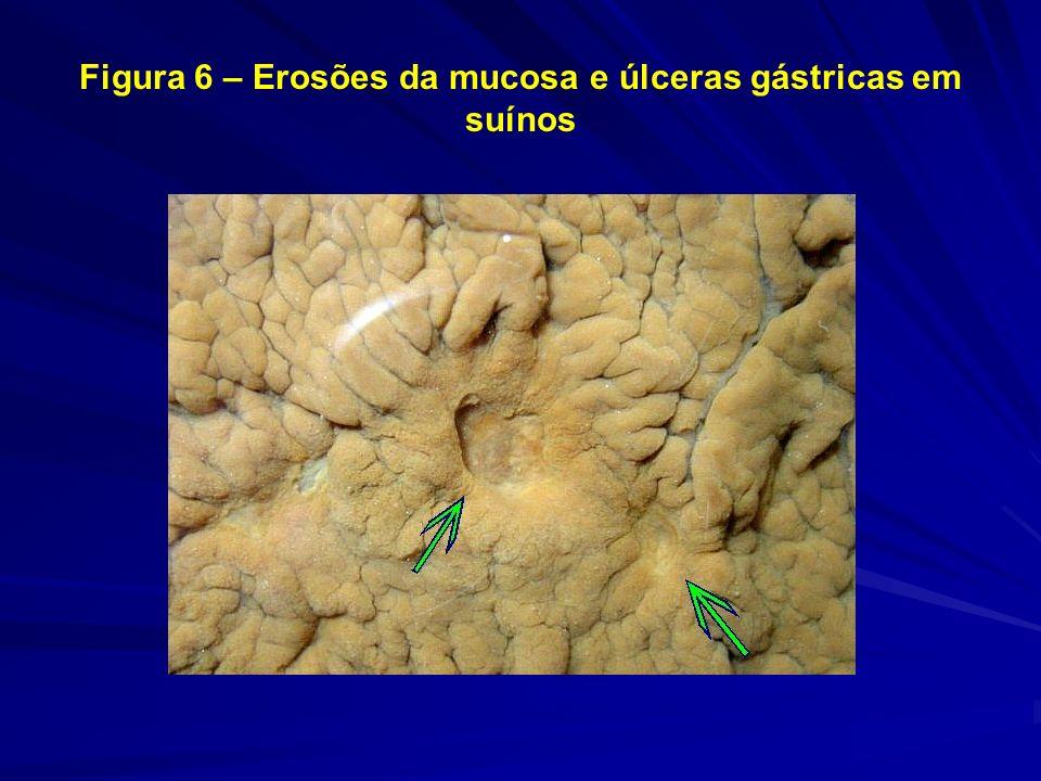 Figura 6 – Erosões da mucosa e úlceras gástricas em suínos