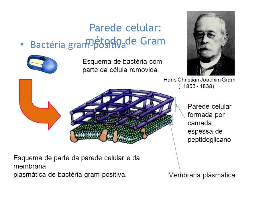 Parede celular: método de Gram Bactéria gram-positiva Esquema de bactéria com parte da célula removida. Esquema de parte da parede celular e da membra