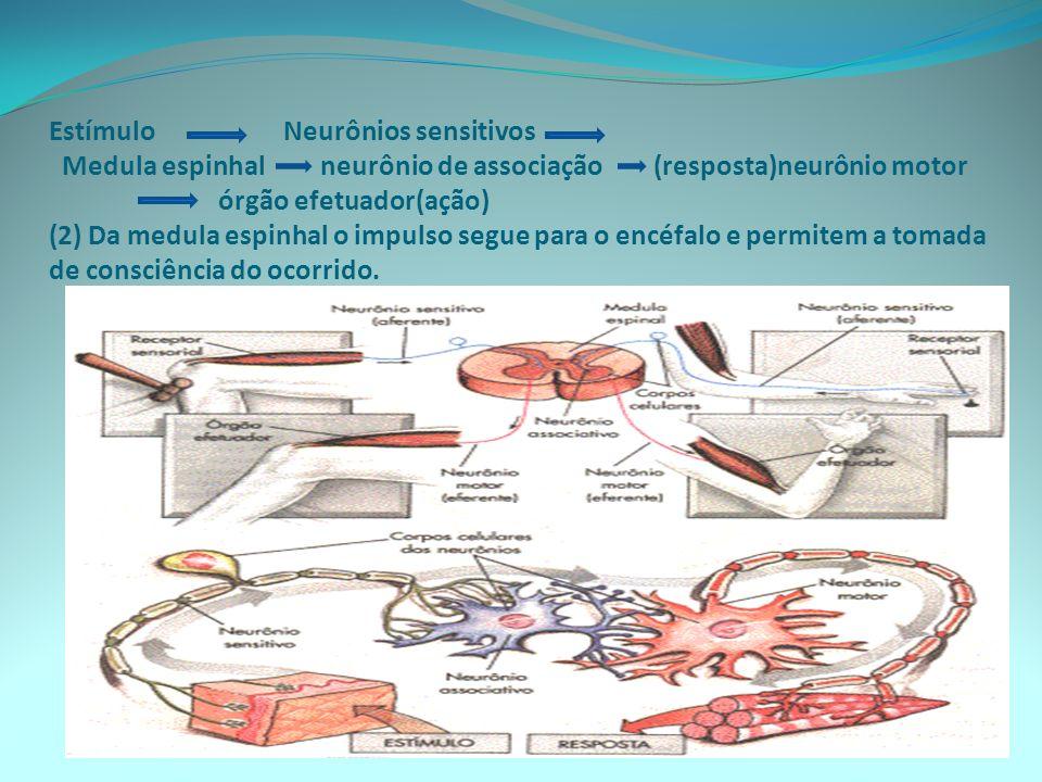Estímulo Neurônios sensitivos Medula espinhal neurônio de associação (resposta)neurônio motor órgão efetuador(ação) (2) Da medula espinhal o impulso s