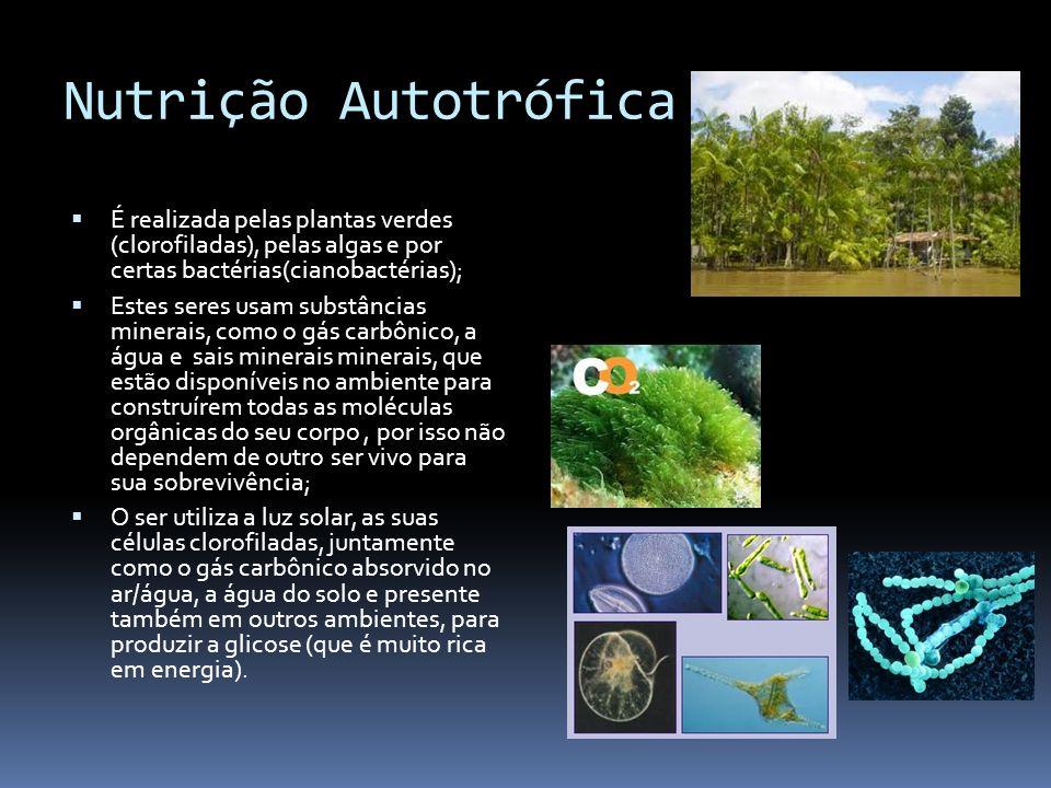 Nutrição Autotrófica É realizada pelas plantas verdes (clorofiladas), pelas algas e por certas bactérias(cianobactérias); Estes seres usam substâncias