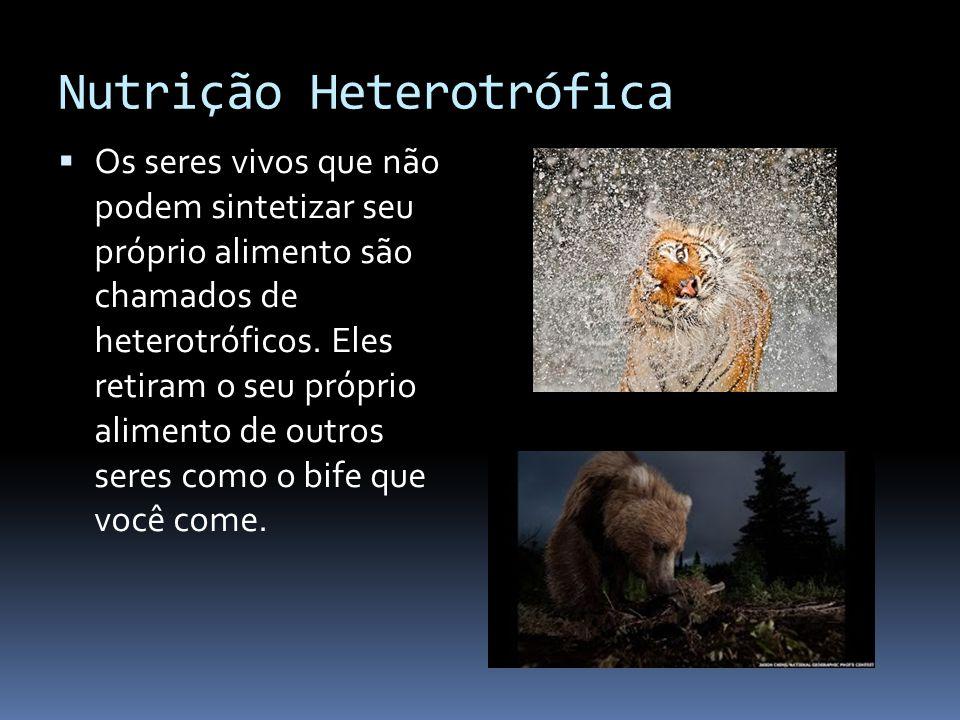 Nutrição Heterotrófica Os seres vivos que não podem sintetizar seu próprio alimento são chamados de heterotróficos. Eles retiram o seu próprio aliment