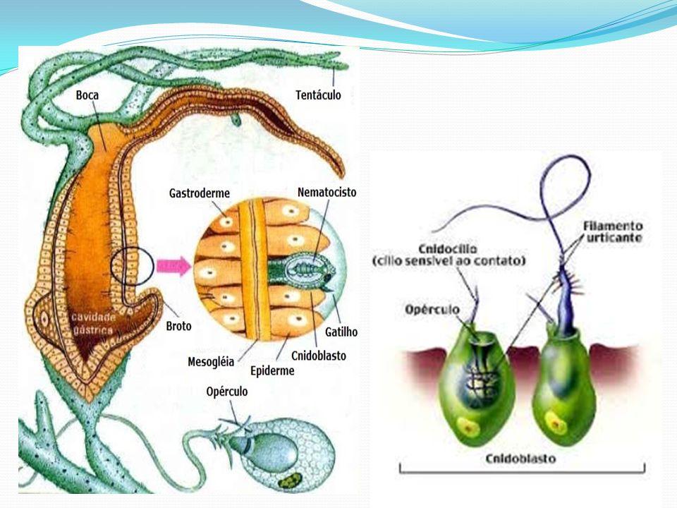 Filo dos Platyhelminthes Platelmintos são animais do filo (do grego platy, achatado + helmins, verme) que pertencem ao reino Animalia.