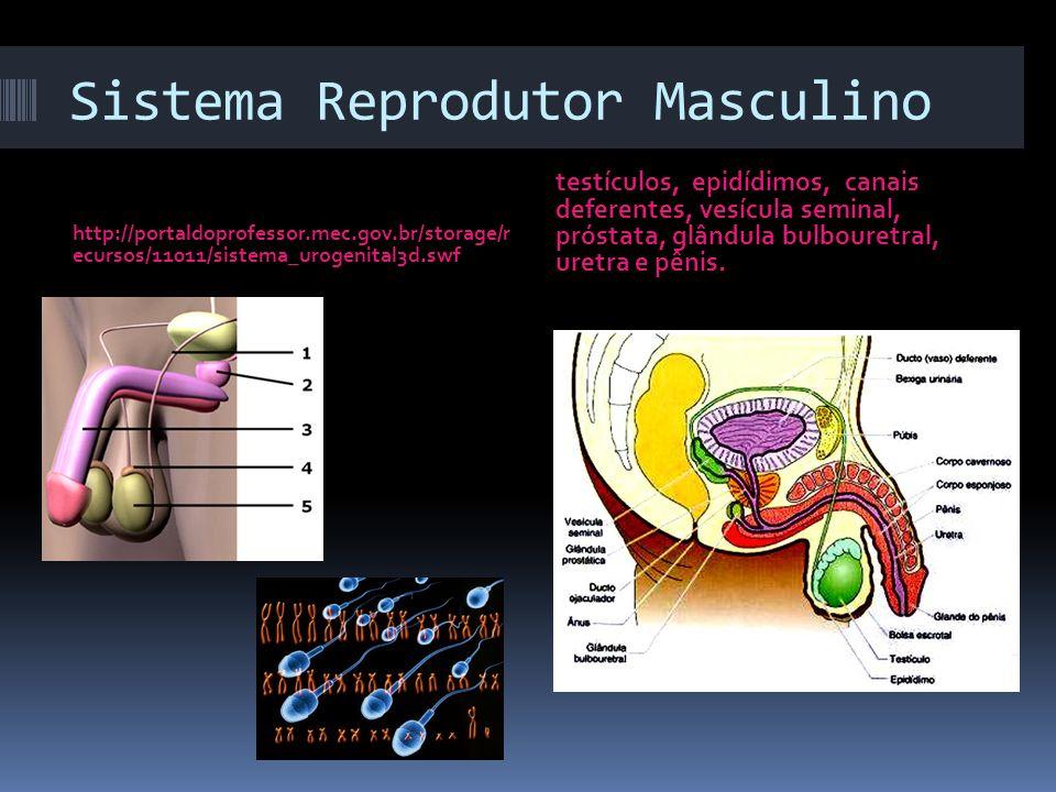 Sistema Reprodutor Masculino http://portaldoprofessor.mec.gov.br/storage/r ecursos/11011/sistema_urogenital3d.swf testículos, epidídimos, canais defer