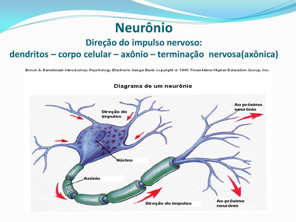 Neurônio Direção do impulso nervoso: dendritos – corpo celular – axônio – terminação nervosa(axônica)