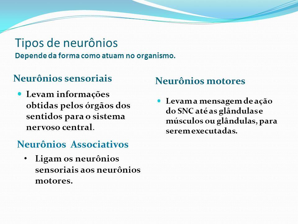 Tipos de neurônios Depende da forma como atuam no organismo. Neurônios sensoriais Neurônios motores Levam informações obtidas pelos órgãos dos sentido