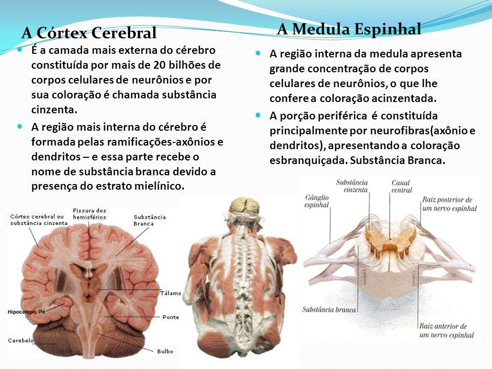 A Córtex Cerebral A Medula Espinhal É a camada mais externa do cérebro constituída por mais de 20 bilhões de corpos celulares de neurônios e por sua c