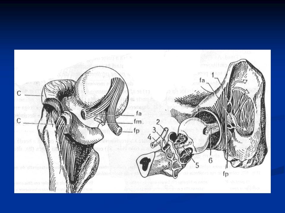 Necrose avascular da cabeça do fêmur Etiologia: interrupção sangüínea TraumaIdiopática Mergulho: bolhas de N formam êmbolos ÁLCOOL: mais comum Alteração Patológica: Osteólise subcondral na cabeça do fêmur Cabeça irregular: alterações degenerativas