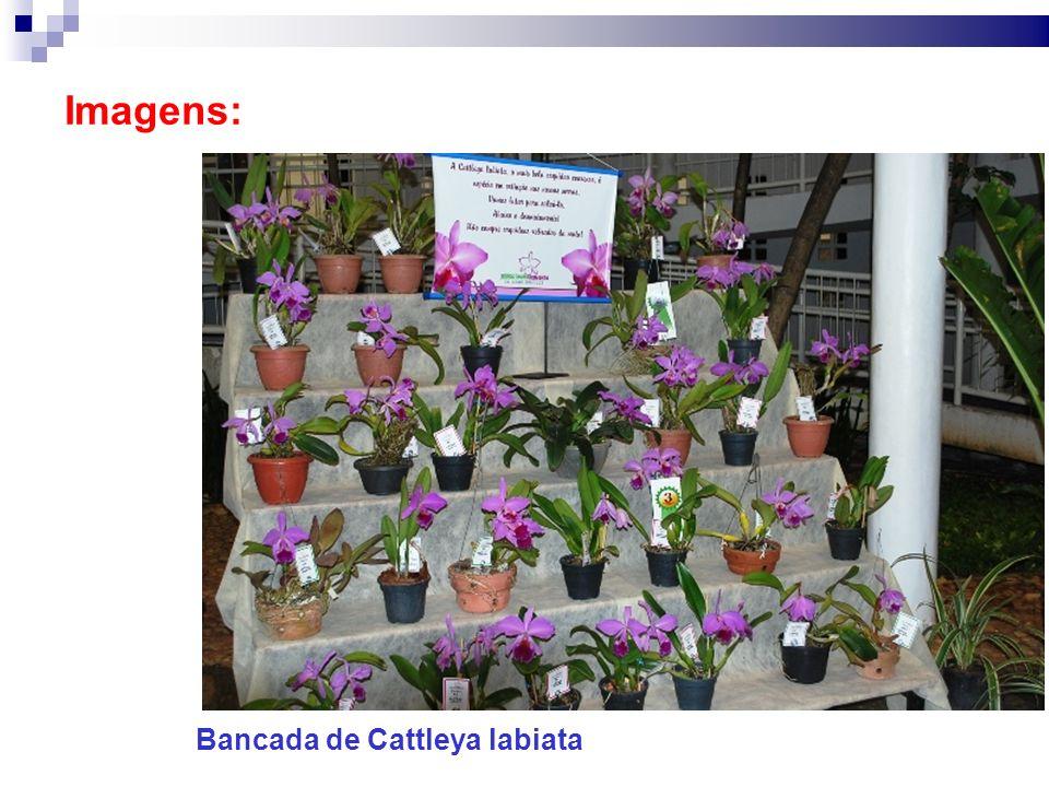 Imagens: Bancada de Cattleya labiata