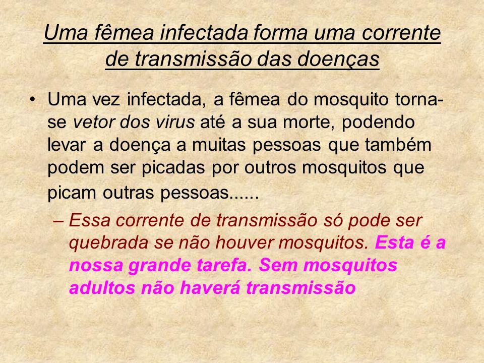 Uma fêmea infectada forma uma corrente de transmissão das doenças Uma vez infectada, a fêmea do mosquito torna- se vetor dos virus até a sua morte, po