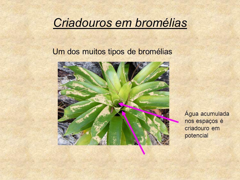 Criadouros em bromélias Água acumulada nos espaços é criadouro em potencial Um dos muitos tipos de bromélias