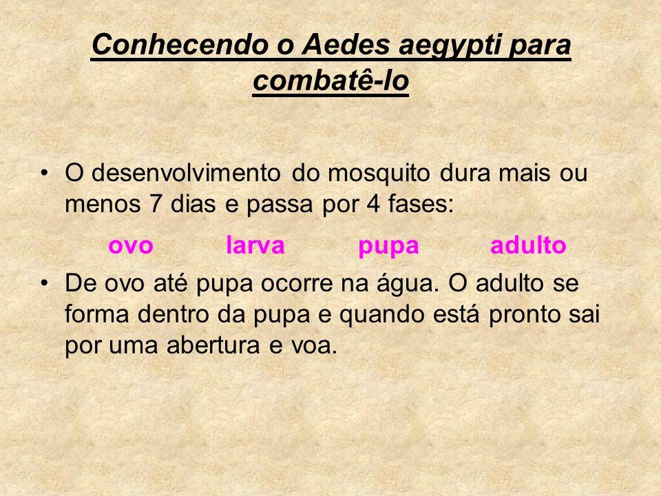 Conhecendo o Aedes aegypti para combatê-lo O desenvolvimento do mosquito dura mais ou menos 7 dias e passa por 4 fases: ovo larva pupa adulto De ovo a