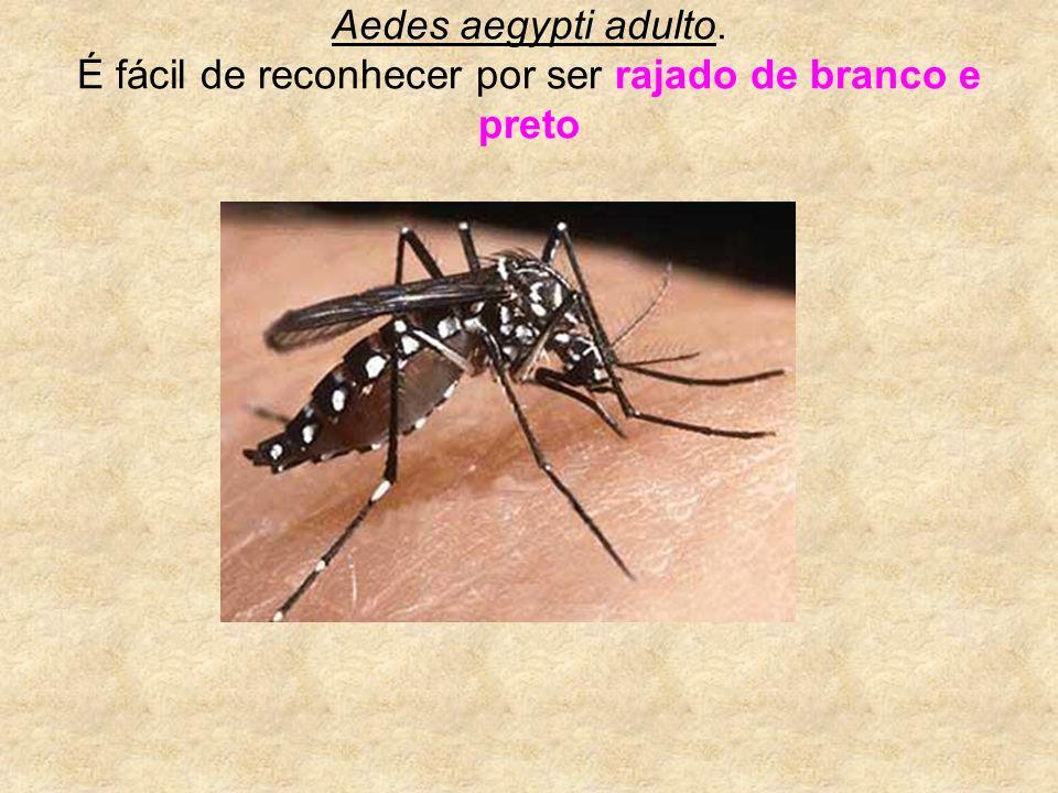 Aedes aegypti adulto. É fácil de reconhecer por ser rajado de branco e preto