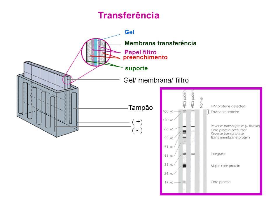 Transferência Papel filtro Gel/ membrana/ filtro Tampão ( +) ( - ) Gel Membrana transferência preenchimento suporte