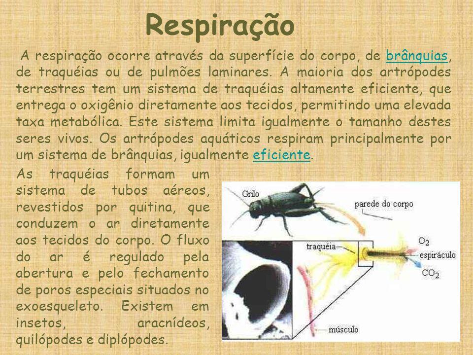 Respiração A respiração ocorre através da superfície do corpo, de brânquias, de traquéias ou de pulmões laminares. A maioria dos artrópodes terrestres