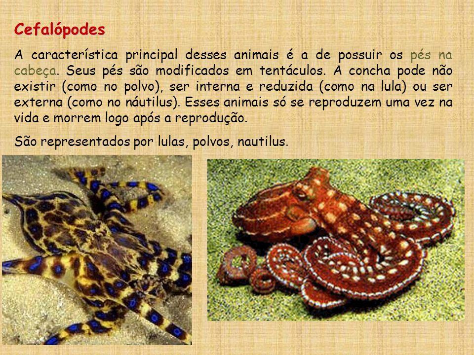 Cefalópodes A característica principal desses animais é a de possuir os pés na cabeça. Seus pés são modificados em tentáculos. A concha pode não exist