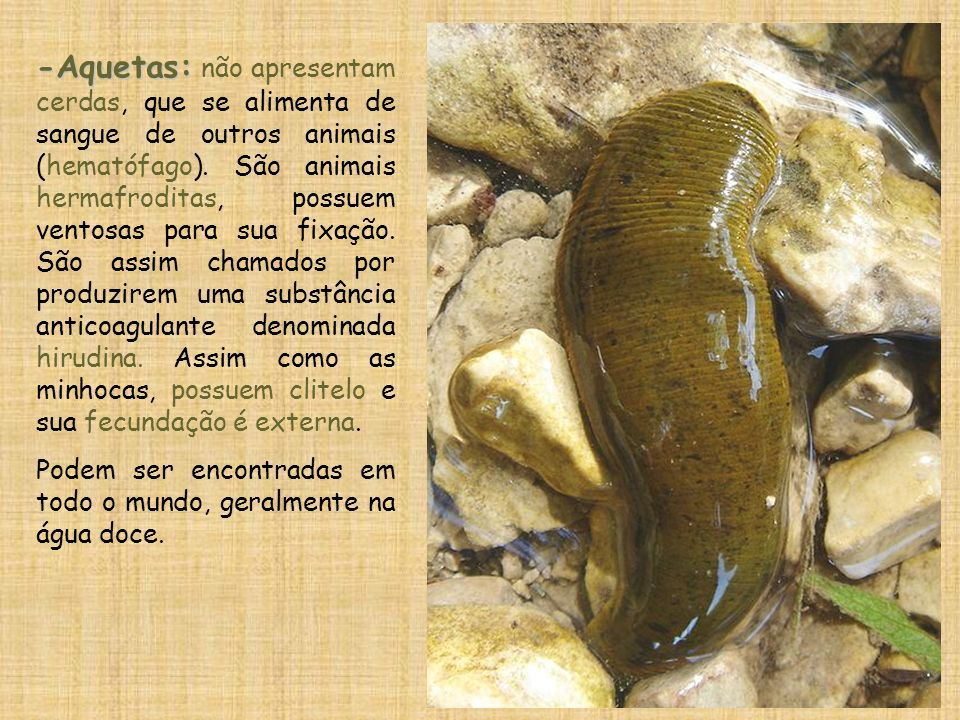 -Aquetas: -Aquetas: não apresentam cerdas, que se alimenta de sangue de outros animais (hematófago). São animais hermafroditas, possuem ventosas para