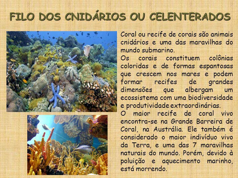 FILO DOS CNIDÁRIOS OU CELENTERADOS Coral ou recife de corais são animais cnidários e uma das maravilhas do mundo submarino. Os corais constituem colôn