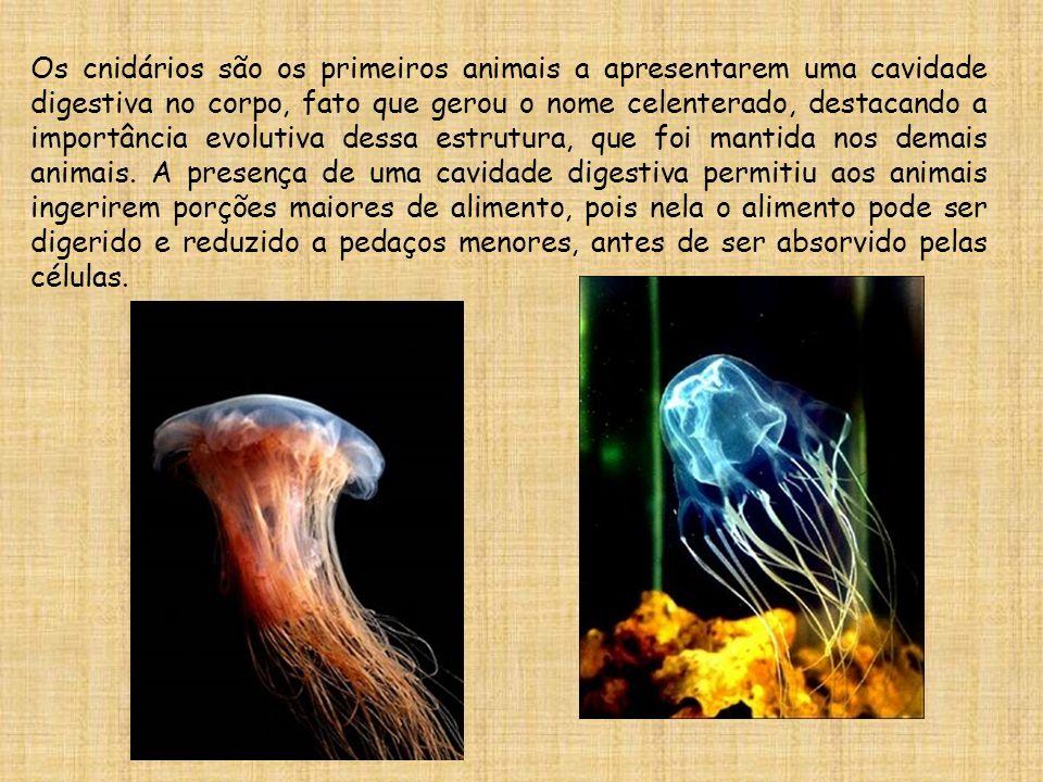 Os cnidários são os primeiros animais a apresentarem uma cavidade digestiva no corpo, fato que gerou o nome celenterado, destacando a importância evol