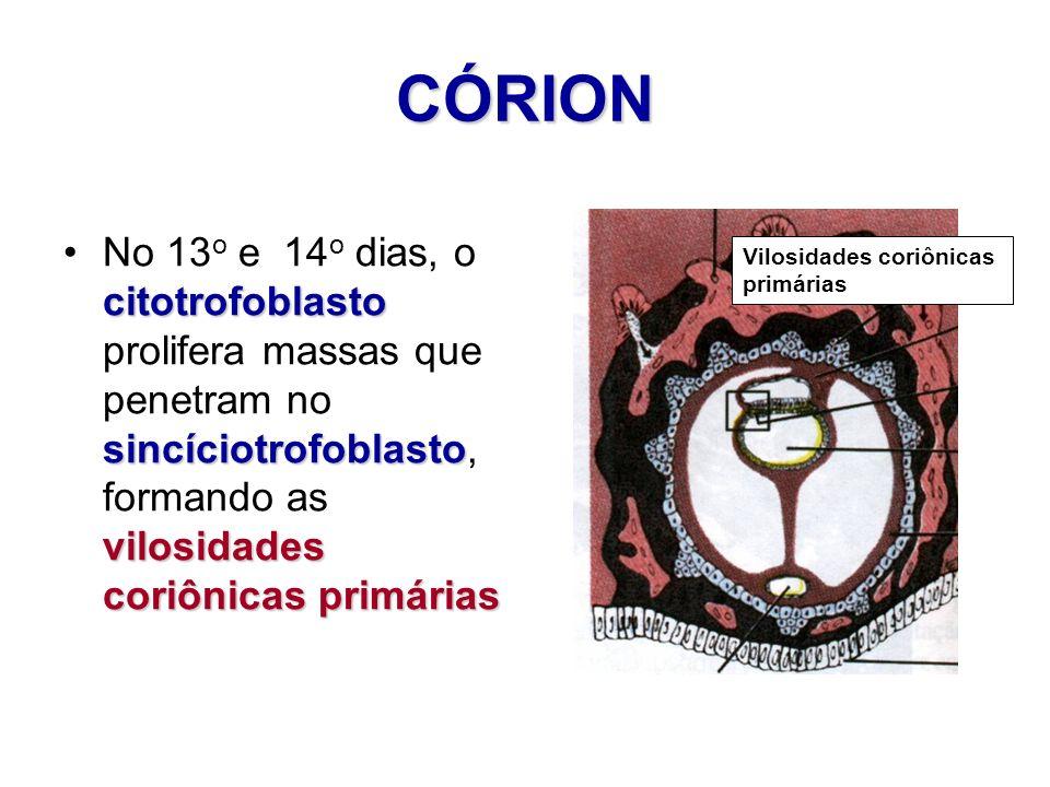 CÓRION citotrofoblasto sincíciotrofoblasto vilosidades coriônicas primáriasNo 13 o e 14 o dias, o citotrofoblasto prolifera massas que penetram no sin