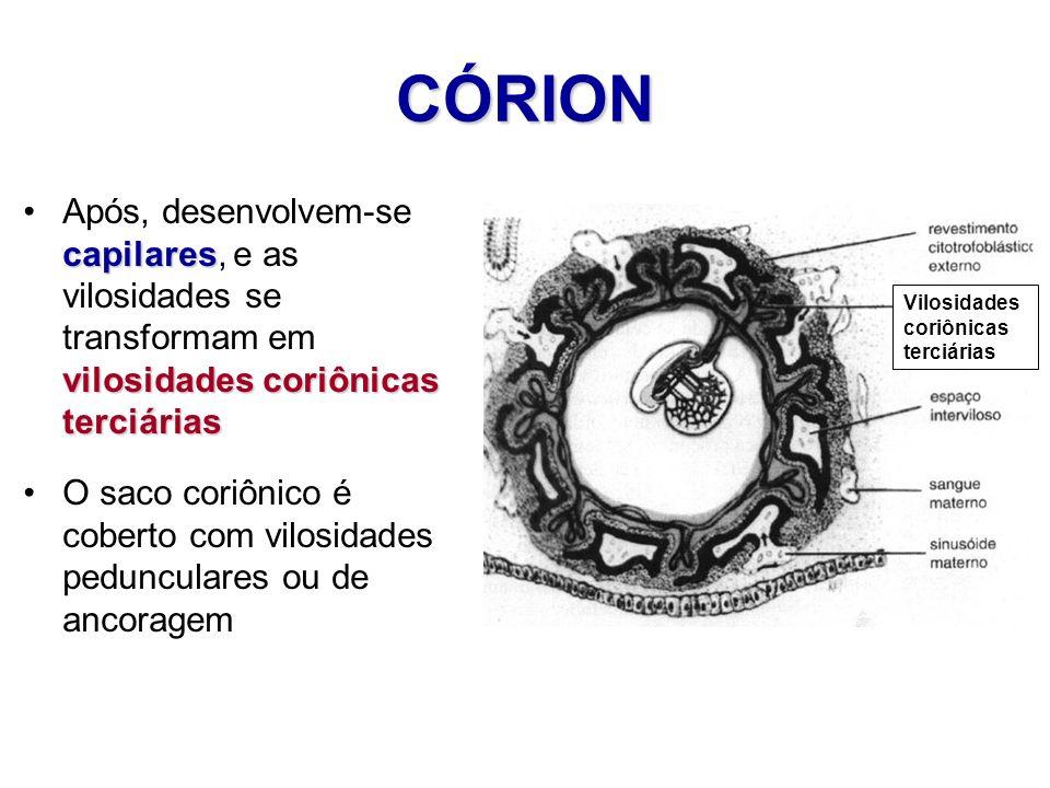 CÓRION Vilosidades coriônicas terciárias capilares vilosidades coriônicas terciáriasApós, desenvolvem-se capilares, e as vilosidades se transformam em