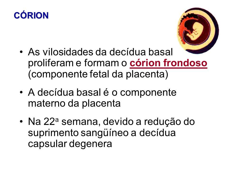 CÓRION As vilosidades da decídua basal proliferam e formam o córion frondoso (componente fetal da placenta) A decídua basal é o componente materno da