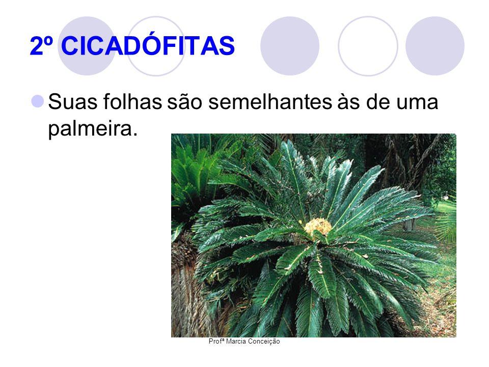 Profª Marcia Conceição 2º CICADÓFITAS Suas folhas são semelhantes às de uma palmeira.