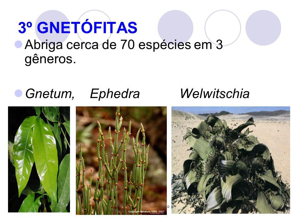 Profª Marcia Conceição 3º GNETÓFITAS Abriga cerca de 70 espécies em 3 gêneros. Gnetum, Ephedra Welwitschia