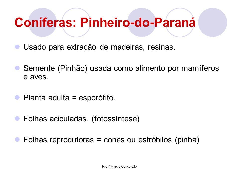 Profª Marcia Conceição Coníferas: Pinheiro-do-Paraná Usado para extração de madeiras, resinas. Semente (Pinhão) usada como alimento por mamíferos e av