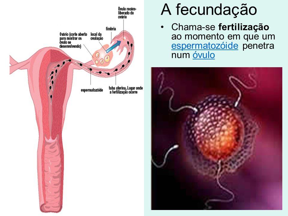 A fecundação Chama-se fertilização ao momento em que um espermatozóide penetra num óvulo espermatozóideóvulo