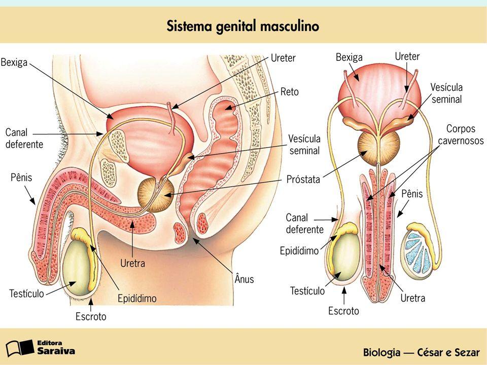 Aparelho reprodutor masculino Testículos É o órgão onde se formam os espermatozóides.