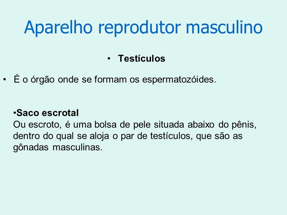 Aparelho reprodutor masculino Testículos É o órgão onde se formam os espermatozóides. Saco escrotal Ou escroto, é uma bolsa de pele situada abaixo do