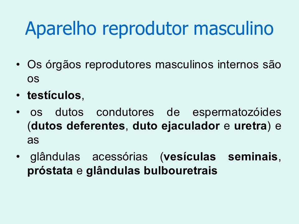 Aparelho reprodutor masculino Os órgãos reprodutores masculinos internos são os testículos, os dutos condutores de espermatozóides (dutos deferentes,