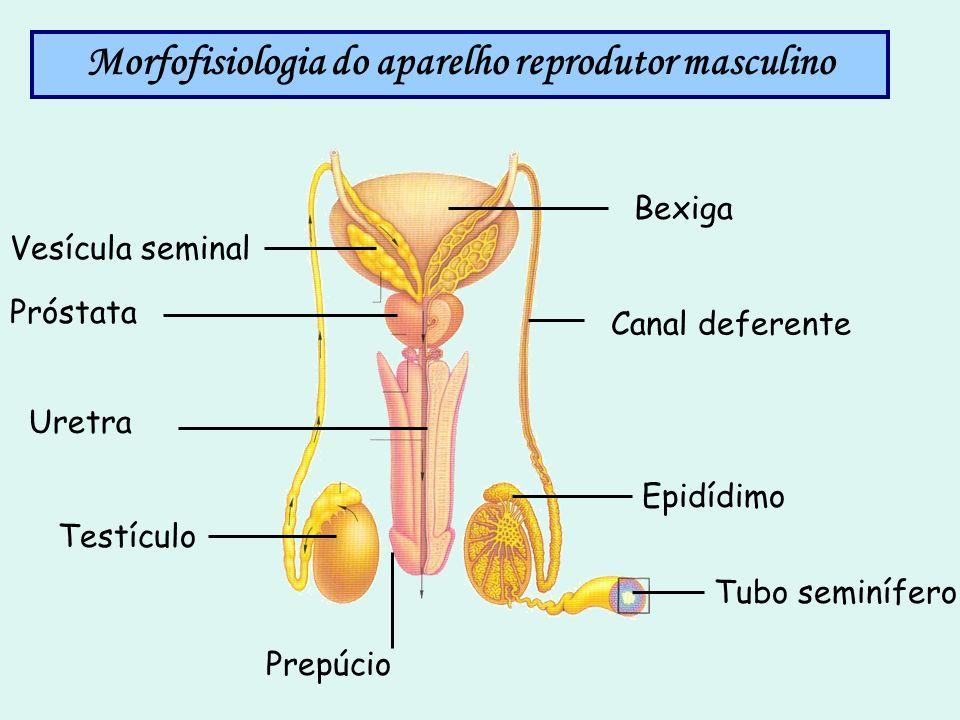 Morfofisiologia do aparelho reprodutor masculino Canal deferente Bexiga Próstata Epidídimo Testículo Tubo seminífero Vesícula seminal Prepúcio Uretra
