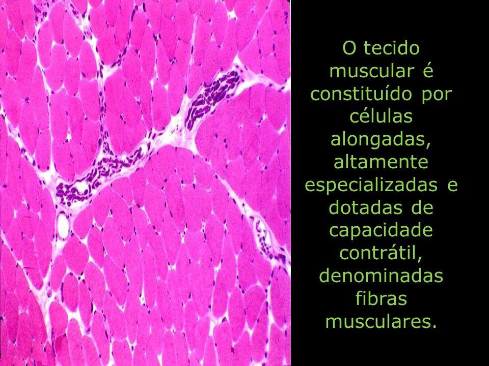 O tecido muscular é constituído por células alongadas, altamente especializadas e dotadas de capacidade contrátil, denominadas fibras musculares.